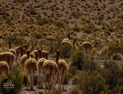 fauna parque nacional volcan isluga