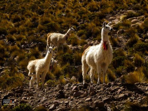 fauna parque nacional volcan isluga animais